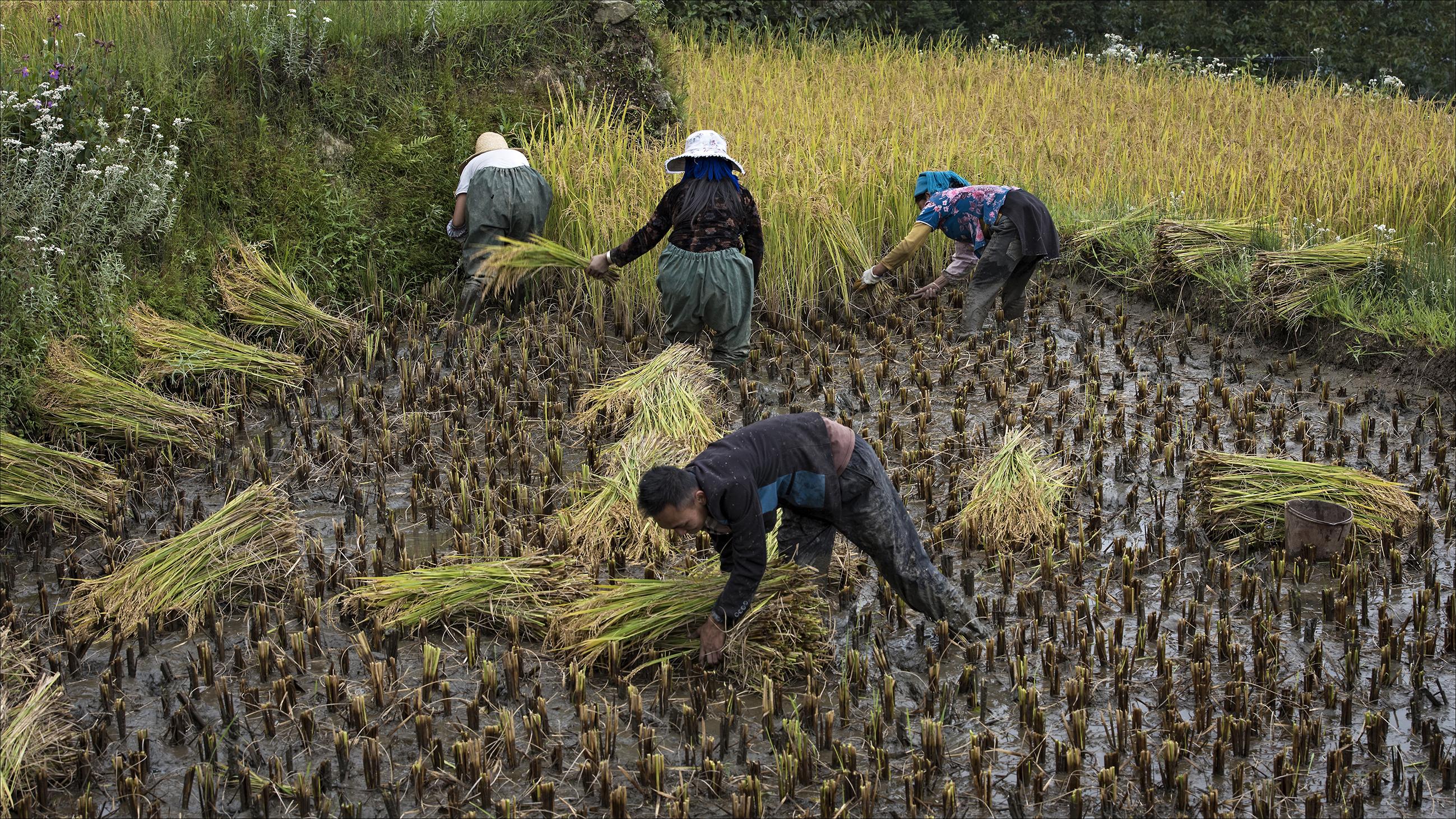 טרסות האורז של יואן- יאנג, קציר