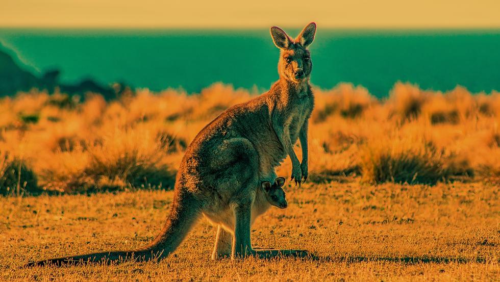CooindaDowns_SliceBackground_Kangaroo.pn