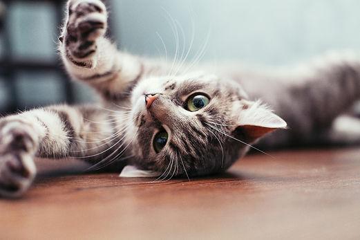 pension pour chats clinique veterinaire Lafrançaise Tarn et Garonne