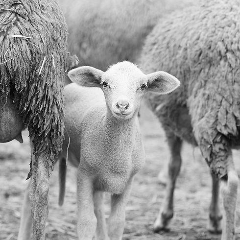 rural vache veau mouton chevre clinique veterinaire Lafrançaise Tarn et Garonne