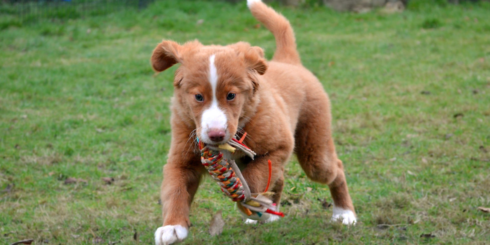SOLD OUT Puppy Classes Guildford - 6 Week Course