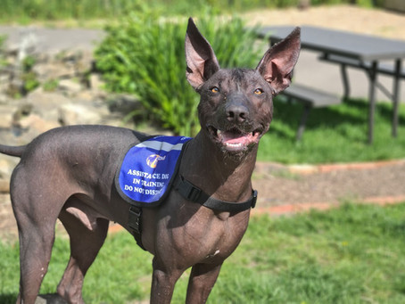 Is your dog cut out to be an Assistance Dog?