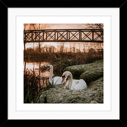 """Framed 10""""x10"""" Photographic Print - Swans on the River, Bures"""
