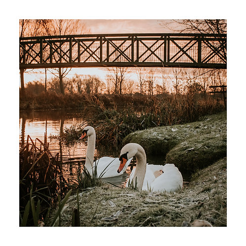 Square Photographic Greeting Card - Swans on the River Stour, Bures