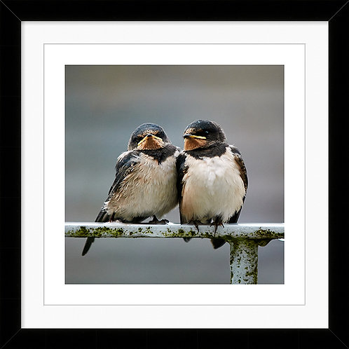"""Framed 10""""x10"""" Photographic Print - Two Baby Swallows"""