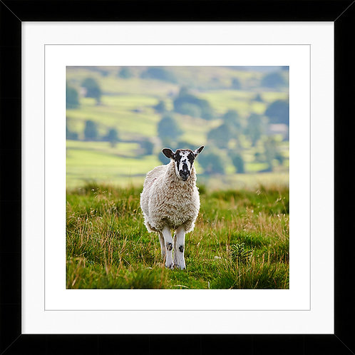 "Framed 10""x10"" Photographic Print - Barbara the Sheep"