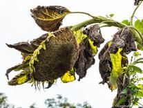 Spent Sunflowers Mark the End of Summer