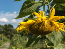 The Sunflowers Bloom in August