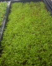 celery microgreens dallas