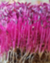 red amaranth microgreens dallas