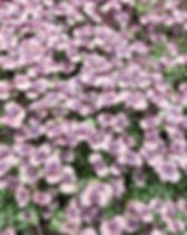 red shiso microgreens dallas