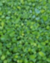 arugula microgreens dallas