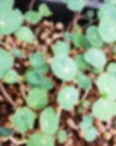 nasturtium microgreens dallas