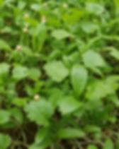cilantro microgreens dallas