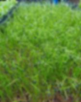chives microgreens dallas