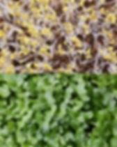broccoli microgreens dallas