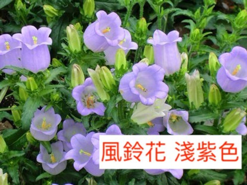 風鈴花 淺紫色  5-8枝