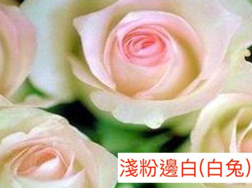 玫瑰 淺粉邊白 白兔 產地昆明 18枝送2枝共20枝