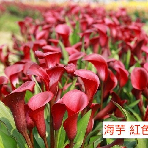 海芋 紅色 產地台灣 8枝送2枝
