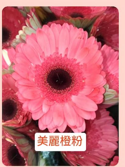 非洲菊  美麗橙粉 產地台灣 8枝送2枝共10枝