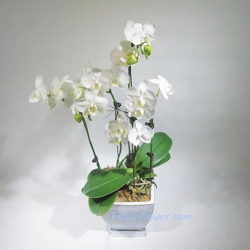 Orchid Decoration 蘭花擺設