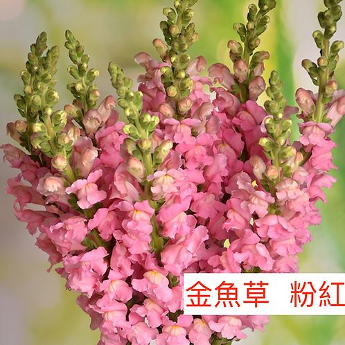 金魚草 粉紅色 產地昆明 8枝送2枝