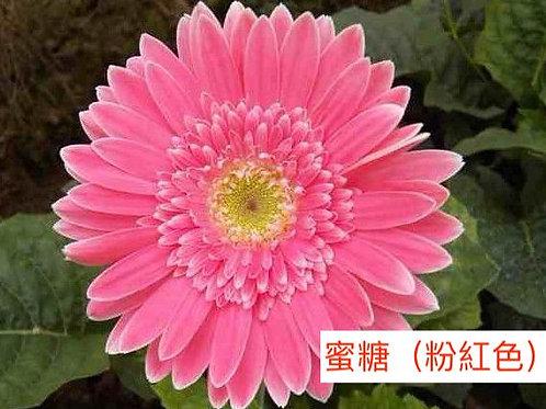 非洲菊  蜜糖(粉紅色)產地昆明 8枝送2枝共10枝