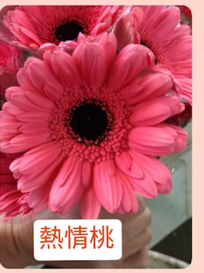非洲菊  熱情桃 產地台灣 8枝送2枝共10枝