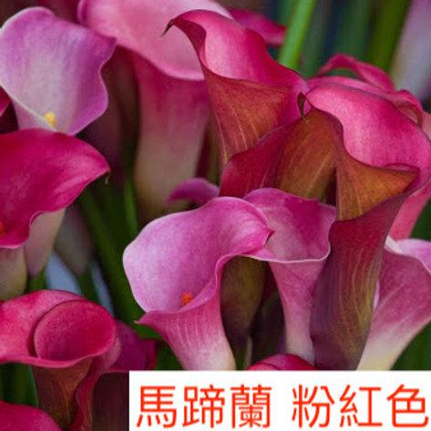 馬蹄蘭 粉紅色 產地昆明 8枝送2枝