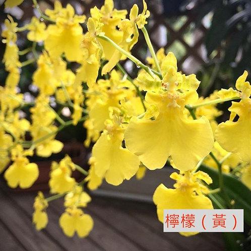 文心蘭 檸檬(黃)產地台灣 8枝送2枝共10枝