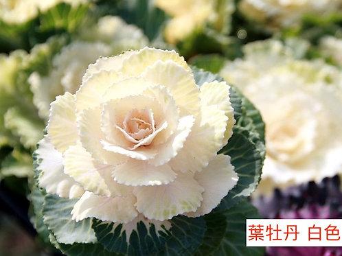 葉牡丹 白色 產地昆明 1枝