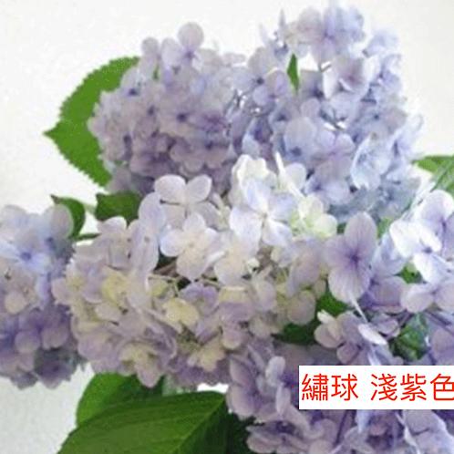 繡球 淺紫色 產地昆明 一個