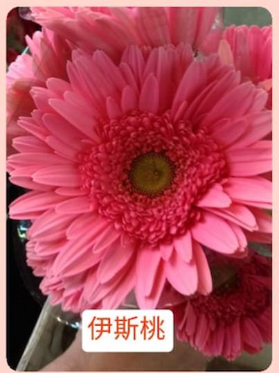 非洲菊  伊斯桃 產地台灣 8枝送2枝共10枝