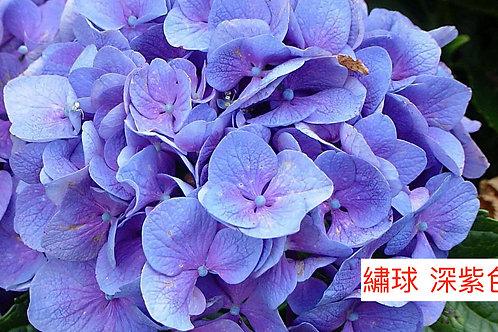 繡球 深紫色 產地昆明 一個