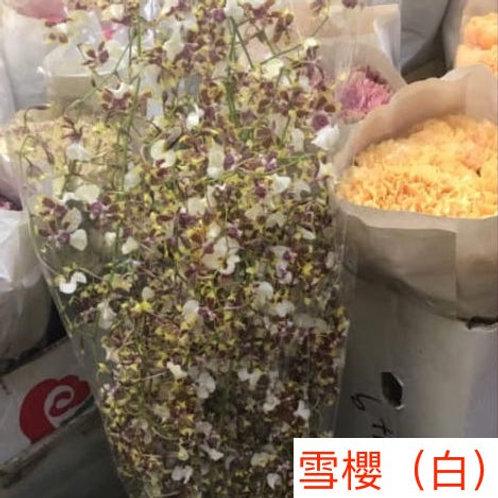 文心蘭 雪櫻 白 產地台灣 8枝送2枝共10枝