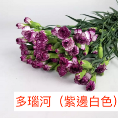 多頭康乃馨 (小丁)多瑙河(紫邊白色)產地昆明 18枝送2枝共20枝