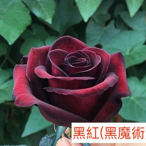 玫瑰 黑紅黑魔術 產地昆明 一枝