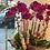 Thumbnail: 蘭花賀體-10槍紫色蝴蝶蘭ORC10L-03
