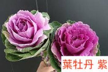 葉牡丹 紫色 產地昆明 1枝