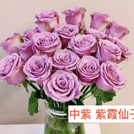 玫瑰 中紫 紫霞仙子 產地昆明 18枝送2枝共20枝