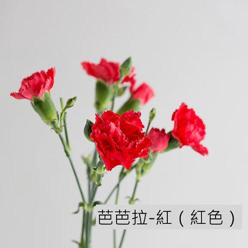 多頭康乃馨 (小丁)芭芭拉-紅(紅色)產地昆明 18枝送2枝共20枝