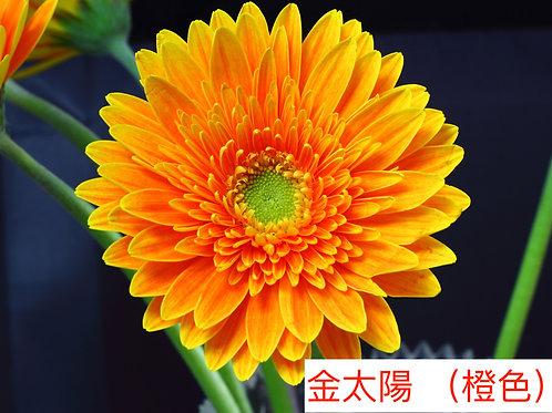 非洲菊  金太陽 (橙色)產地昆明 8枝送2枝共10枝