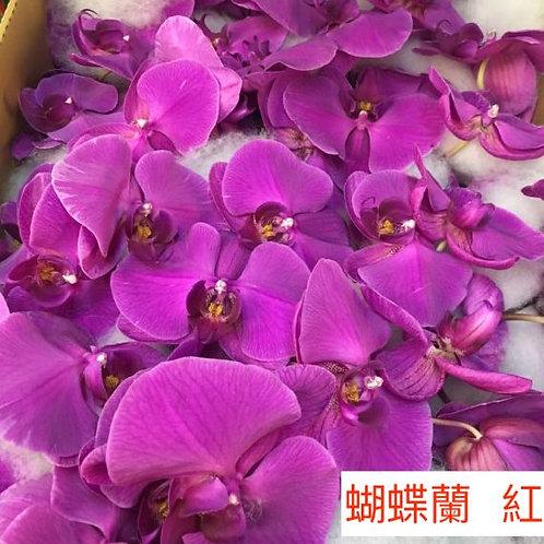 蝴蝶蘭 紅色 產地台灣 1枝