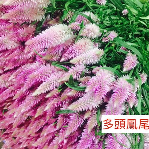 多頭鳳尾 粉紅色 產地昆明 8枝送2枝