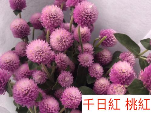 千日紅 桃紅色  15-20枝