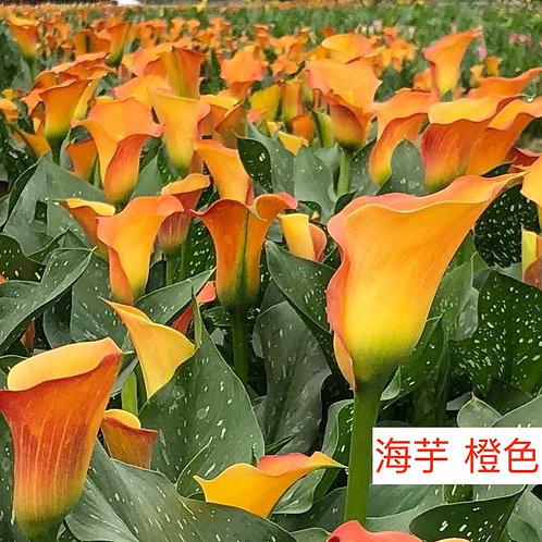 海芋 橙色 產地台灣 8枝送2枝