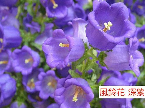 風鈴花 深紫色  5-8枝