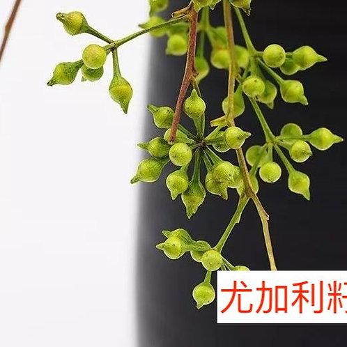 尤加利籽 5-10枝