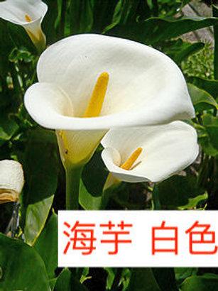 海芋 白色 產地台灣 8枝送2枝