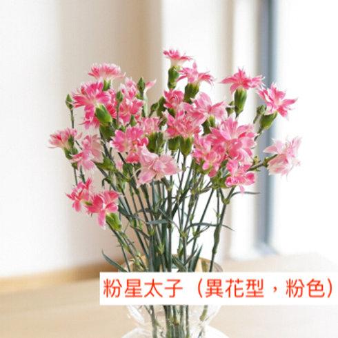 多頭康乃馨 (小丁)粉星太子(異花型,粉色)產地昆明 18枝送2枝共20枝